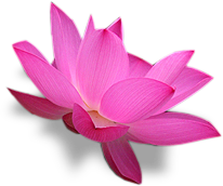 floating lotus in the river